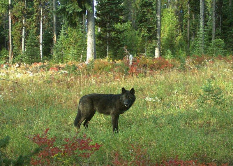 Wenaha Wolf Sept 2018 - ODFW.jpg