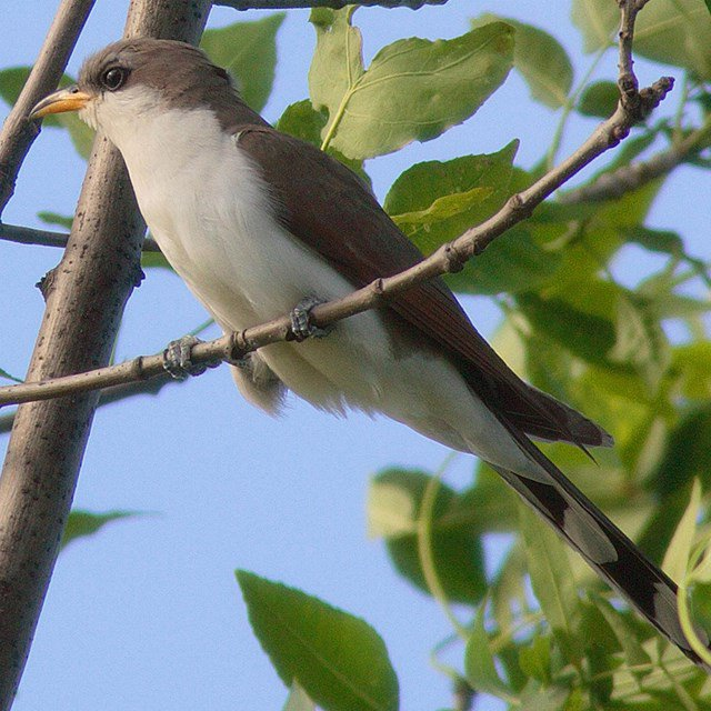 Western-Yellow-Billed-Cuckoo-Leo-Shapiro-USGS-FPWC.jpg