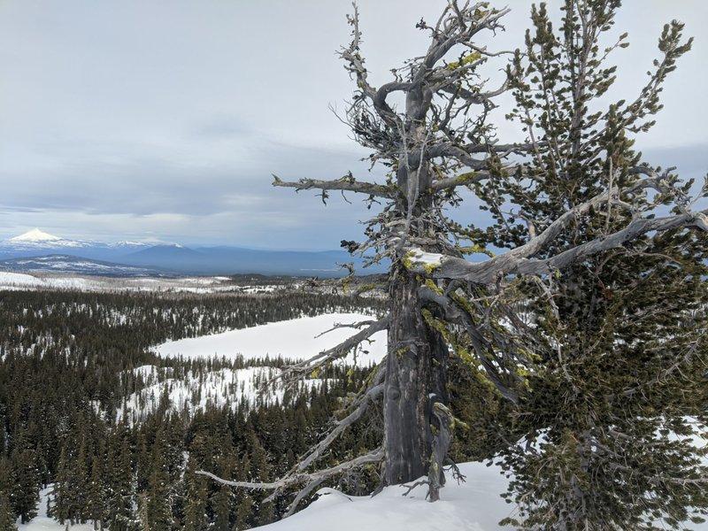 Whitebark Pine, Photo Noah Greenwald-1.jpg