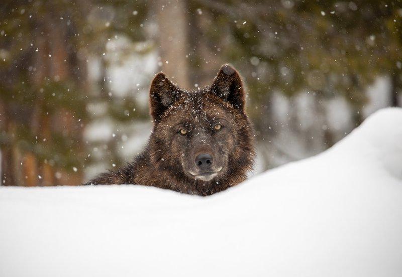 Wolf_Yellowstone_National_Park_Jim_Peaco_NPS_FPWC-lpr.jpg