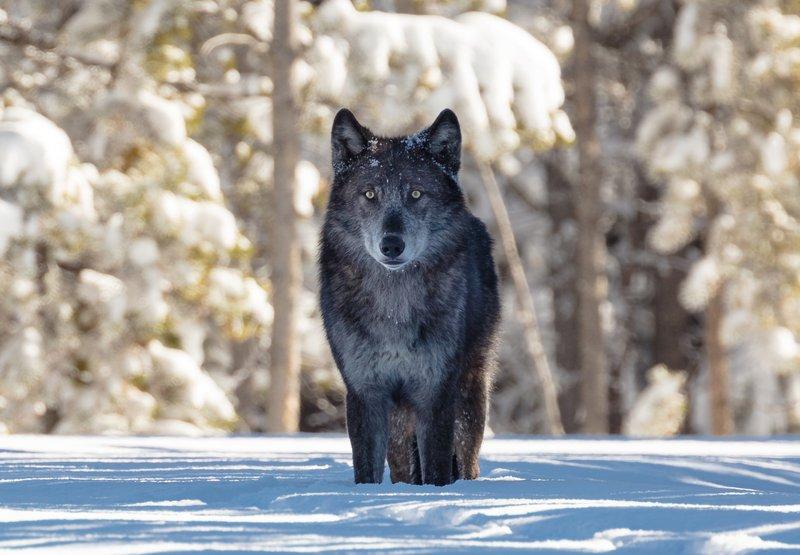Yellowstone_wolf_National_Park_Service_Jacob_Frank_Public_Domain_FPWC_2.jpg