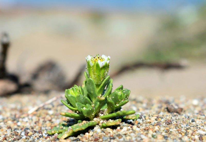 beach_layia_National_Park_Service_FPWC.jpg