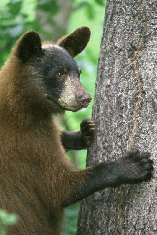 black-bear-Ursus-americanus-Maslowski-Steve-USFWS-FPWC.jpg