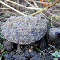 common_snapping_turtle_by_Jessica Bolser_USFWS_FPWC.jpg