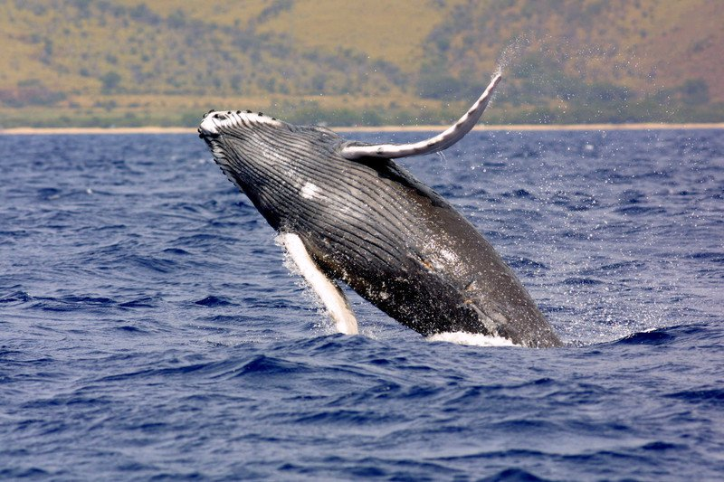 Pacific humpback whale