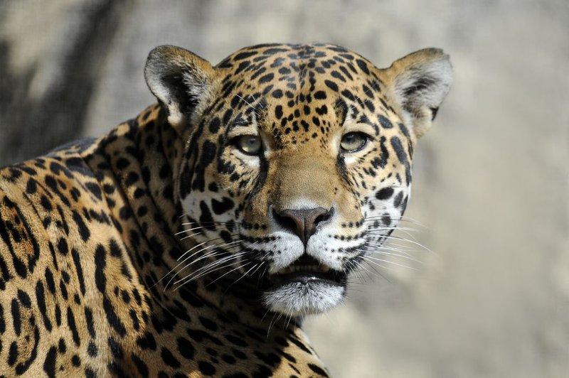 jaguar-WCS.jpeg