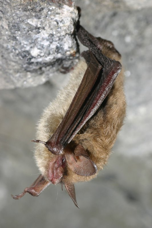 northern_long_eared_bat_USFWS_FPWC-scr.jpg