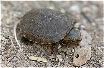 sonoyta__mud_turtle_NPS_FPWC.png
