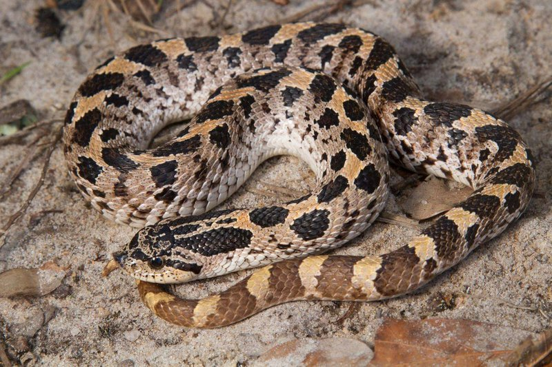 southern-hognose-snake_Pierson_Hill_Florida_Fish_and_Wildlife_Commission_FPWC.jpg