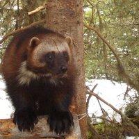 American wolverine, courtesy Audrey Magoun USFWS FPWC.JPG