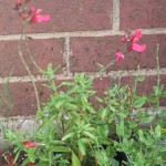6/19/2006 Red Autumn Sage