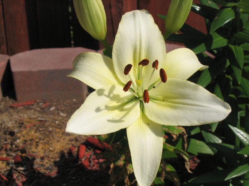 6/2/2006 White Lily
