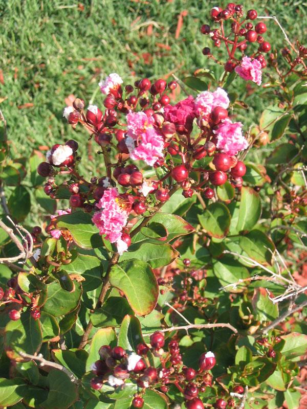 06/29/06 Peppermint Lace Crape Myrtle