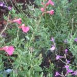 8/7/2007 Coral and Purple salvia greggii