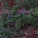 3/11/2008 Muscari and salvia