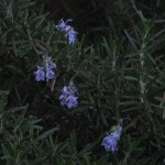 3/11/2008 Blue flowered rosemary