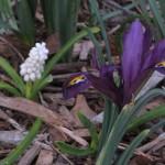 3/11/2008 Dwarf Iris and Muscari