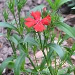 3/17/2008 Dianthus Telstar Scarlet