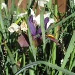 4/11/2008 Hiding Iris
