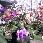 3/20/2009 Orchids at Gunther's (2)