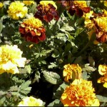 4/1/2009 The Plant Market: More Marigolds