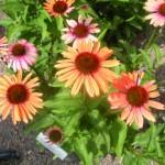 5/23/2009 Arboretum Flowers (12)
