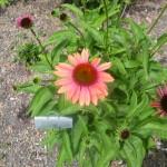 5/23/2009 Arboretum Flowers (11)