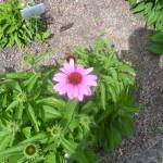 5/23/2009 Arboretum Flowers (10)