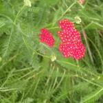 5/23/2009 Arboretum Flowers (7)