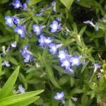 5/23/2009 Arboretum Flowers (4)