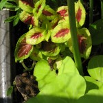 7/6/2009 Visitor in my Coleus (4)