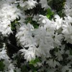4/10/2010 Dallas Blooms (80)