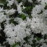 4/10/2010 Dallas Blooms (79)