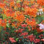 4/10/2010 Dallas Blooms (70)