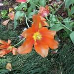4/10/2010 Dallas Blooms (49)