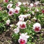 4/10/2010 Dallas Blooms (17)