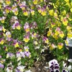 4/10/2010 Dallas Blooms (11)