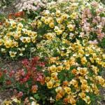 4/10/2010 Dallas Blooms (10)