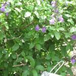 4/10/2010 Dallas Blooms (8)