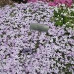 4/10/2010 Dallas Blooms (2)