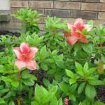 5/14/2010 Spring Flower Beds (51)