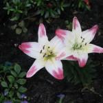 5/14/2010 Spring Flower Beds (34)