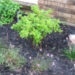 5/14/2010 Spring Flower Beds (25)