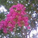 6/7/2010 First Crape Myrtle in Bloom at Work