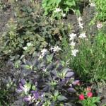6/17/2010 Purple Garden (5)