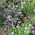 6/17/2010 Purple Garden (4)