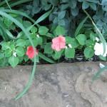 9/28/2010 September garden (18)