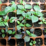 2/16/2011 Seedlings (1)