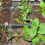 2/16/2011 Seedlings (7)