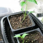 2/16/2011 Seedlings (5)